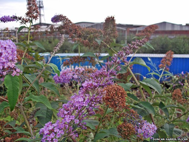 Buddleia at Willsden Junction