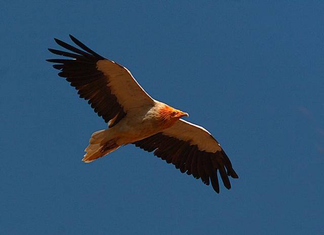 Egyptian_vulture_in_flight
